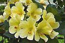 Rhododendron 'Blondie'