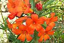 Rhododendron 'Doris Mossman'