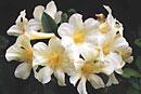 Rhododendron 'Elegant Bouquet'