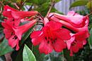 Rhododendron 'Fireplum'
