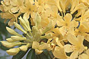 Rhododendron 'Flamenco Dancer'