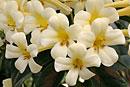 Rhododendron 'Highland White Jade'