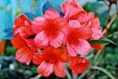 Rhododendron 'Hugh Redgrove'
