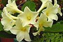 Rhododendron 'Lemon Light'