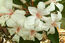 Rhododendron 'Nancy Miller Adler'