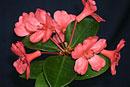 Rhododendron 'Orangerie Bay'