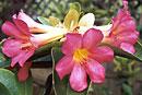Rhododendron 'Razzamatazz'