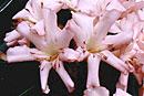 Rhododendron 'Rio Rita'