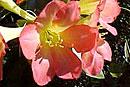 Rhododendron 'Sandy Mitchell'