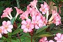 Rhododendron 'Terebinthia'