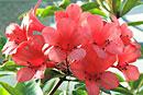 Rhododendron 'Triumphans'