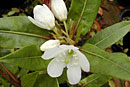 Rhododendron lanceolatum
