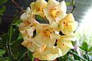 Rhododendron maxwellii