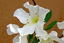 Rhododendron mendumiae