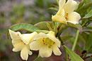 Rhododendron multicolor