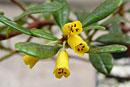 Rhododendron perakense