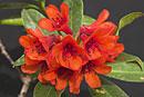 Rhododendron rarilepidotum