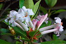 Rhododendron ruttenii