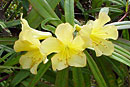 Rhododendron salicifolium