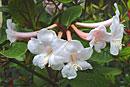 Rhododendron solitarium