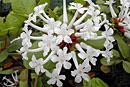 Rhododendron suaveolens