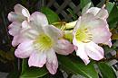 Rhododendron superbum